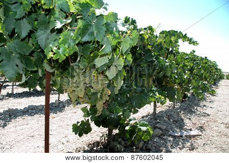 Spanish grapevines.
