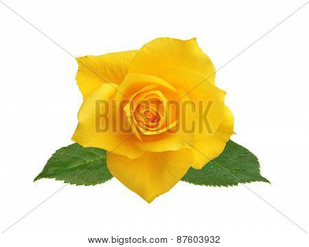 Beautiful Yellow Rose Isolated On White