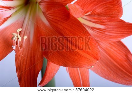 Beautiful Red Gladiolus, Close Up