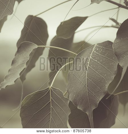 Close up of Peepal (Ficus) tree leaves. An abstract nature background.