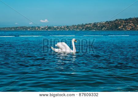 Graceful White Swan On A Blue Lake Of Geneva City