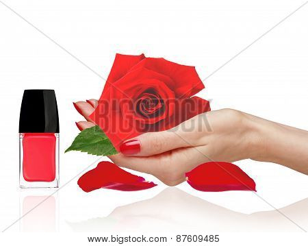 Rose In Woman Han, Red Nail Polish And Petals Isolated On White Background