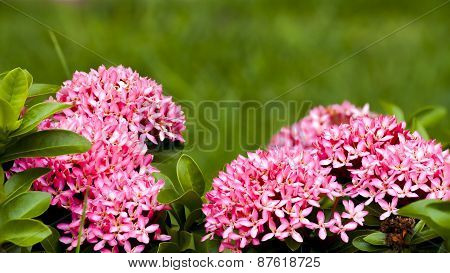 Close Up Ixora Flower Of Blooming
