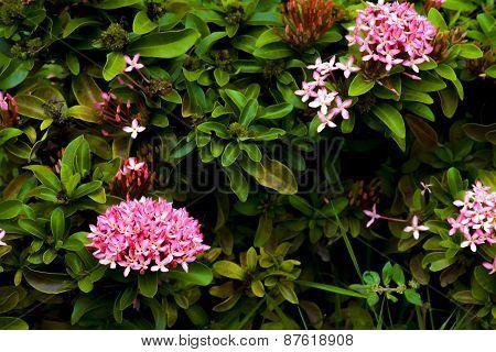 Pink Ixora Flower On The Garden