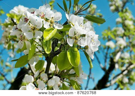 closeup of a branch of a cherry tree in full bloom over the blue sky
