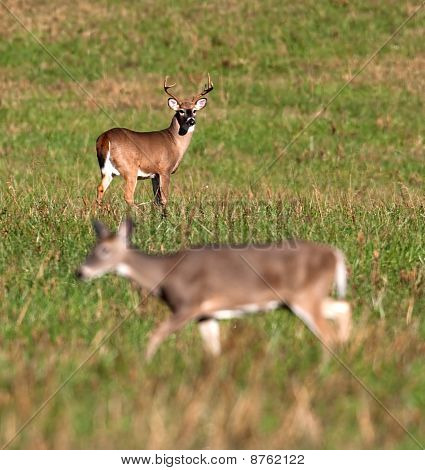 Whitetail Deer Buck Watching Doe During Rut