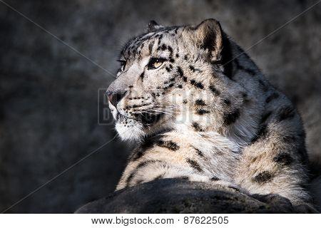 Snow Leopard XI