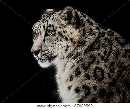 Snow Leopard VI