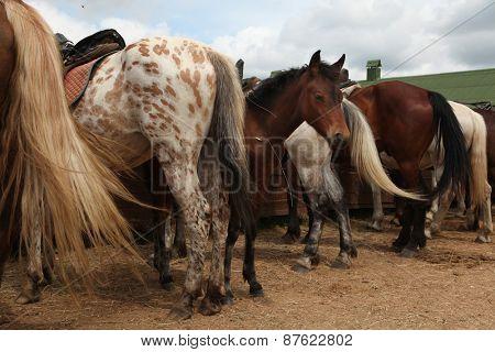 Horse farm in Mozhaysk near Moscow, Russia.