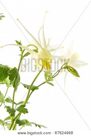 White Columbine Flower (aquilegial)  On White Background