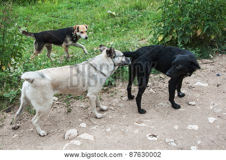 Female dog and her suitors