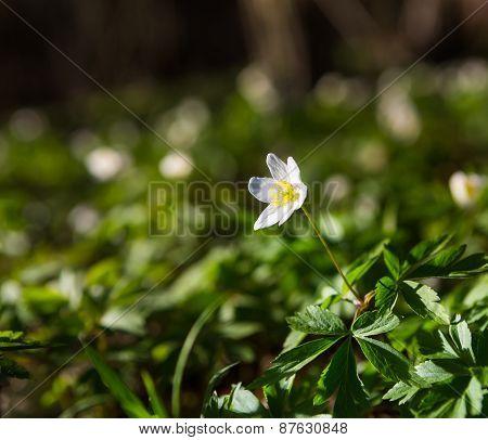 White Anemones (anemone Nemorosa).