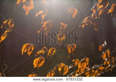 Dry Leaves On Branch In Sunset Light
