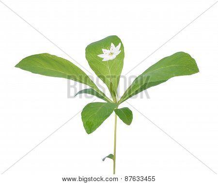 Trientalis Europaea Flower