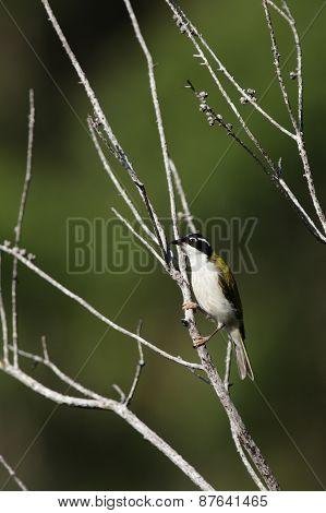 Weißkinn-honigschmecker (melithreptus Albogularis)