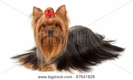 Yorkie With Professionally Groomed Hair