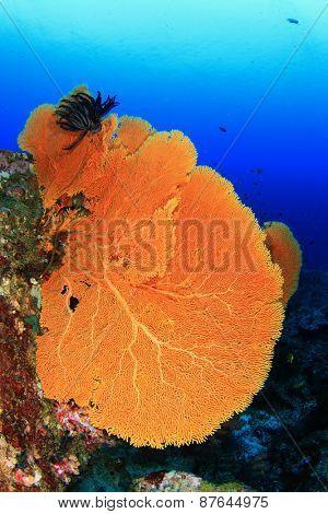 Gorgonian Fan Coral
