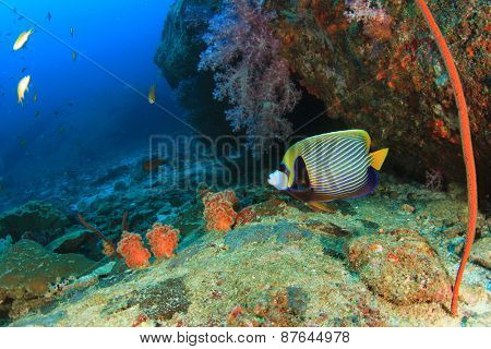 Emperor Angelfish on coral reef