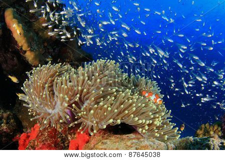 Anemone, Coral and fish underwater