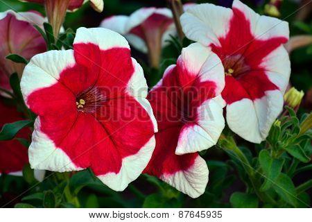 Petunia. Floral Background