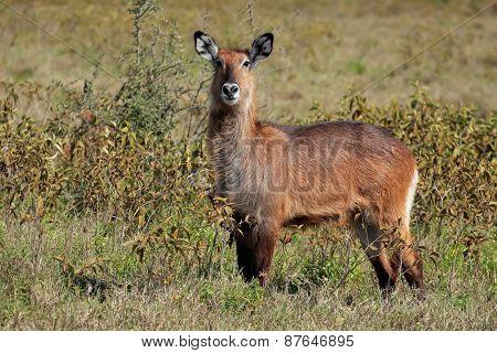 Defassa waterbuck (Kobus ellipsiprymnus defassa), Lake Nakuru National Park, Kenya
