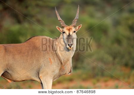 Large male eland antelope (Tragelaphus oryx), South Africa