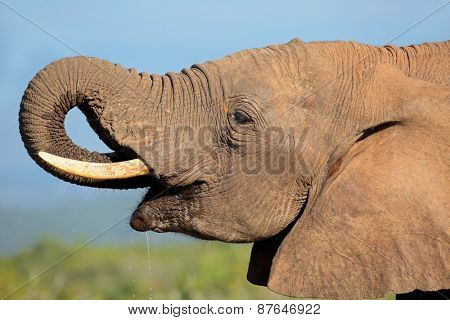 Portrait of an African elephant (Loxodonta africana) drinking water, Addo Elephant National park, South Africa
