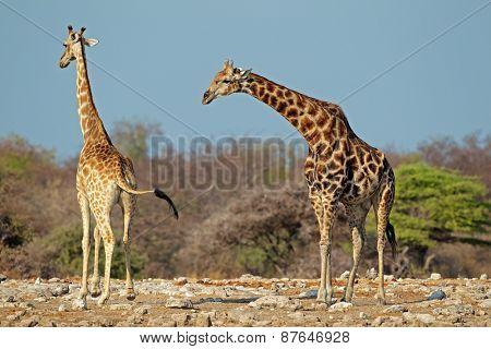 Giraffes (Giraffa camelopardalis) in natural habitat, Etosha National Park, Namibia