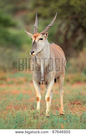 Large male eland antelope (Tragelaphus oryx) in natural habitat, South Africa