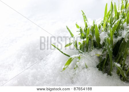 Fresh green grass growing form snow. The beginning of spring. Nature