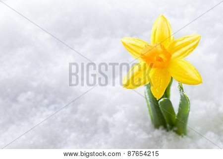 Crocus flower growing form snow. The beginning of spring. Nature