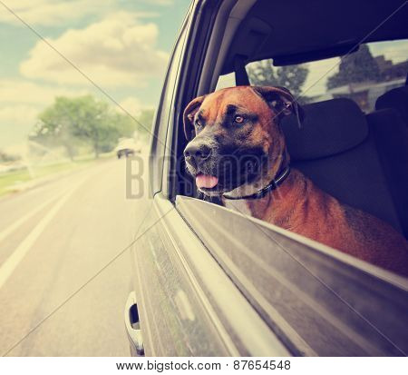 a boxer pit bull mix dog riding in a car with her head out of the window toned with a retro vintage instagram filter effect app or action