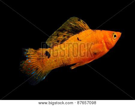 Molly Fish Isolated On A Black Background