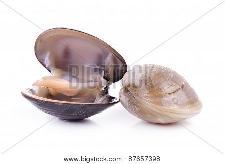 Enamel Venus Shell On A White Background