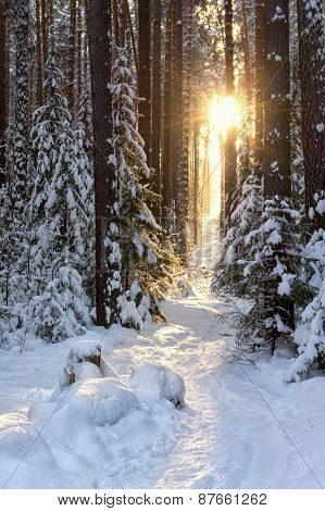 rays of the sun in a quiet winter forest