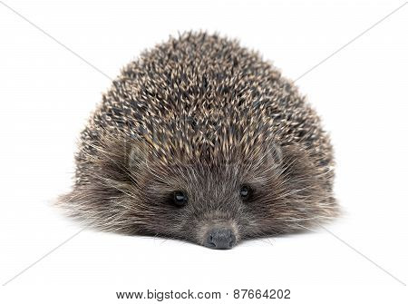 Portrait Of A Young Hedgehog On White Background