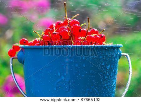 Red Currant Fruit Bucket Summer Rain Drops Water