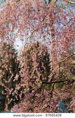 Blooming Rosebud Cherry Tree
