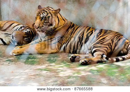 Portrait Of Tigers In A Cage In Zoo
