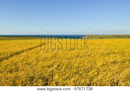 Yellow Wild Flower Meadow And Seascape - Horizontal