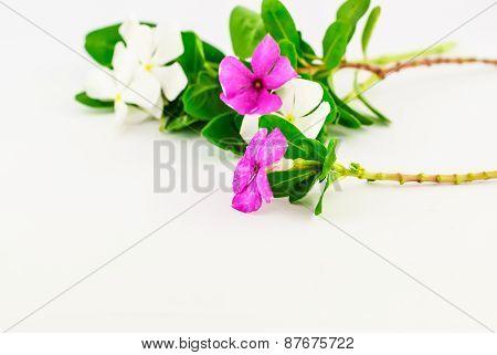 Catharanthus Roseus