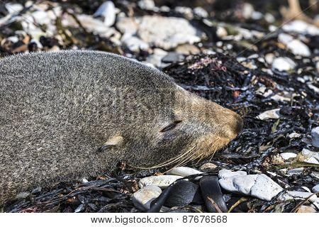 Sleeping New Zealand Fur Seal (arctocephalus Forsteri)