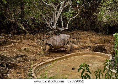 Giant tortoise, Geochelone elephantopus, at Charles Darwin Research Station on Santa Cruz, Galapagos