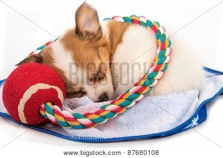 Portrait Of Chihuahua Puppy Sleep
