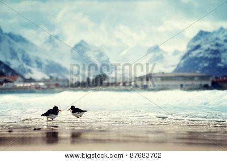 birds and mountain peak on Lofoten beach in spring season, Norway