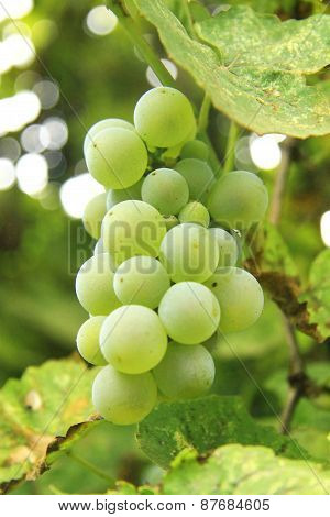 Bunch Of White Grape In The Vineyard