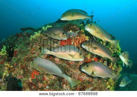 School of fish (Silver Sweetlips)