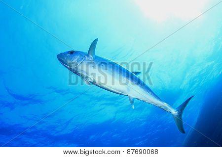 Tuna fish in ocean