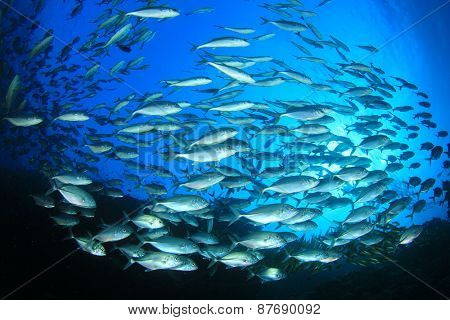 School of fish in ocean (Bigeye Trevallies or Jacks)