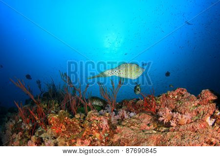 Scribbled Filefish on coral reef